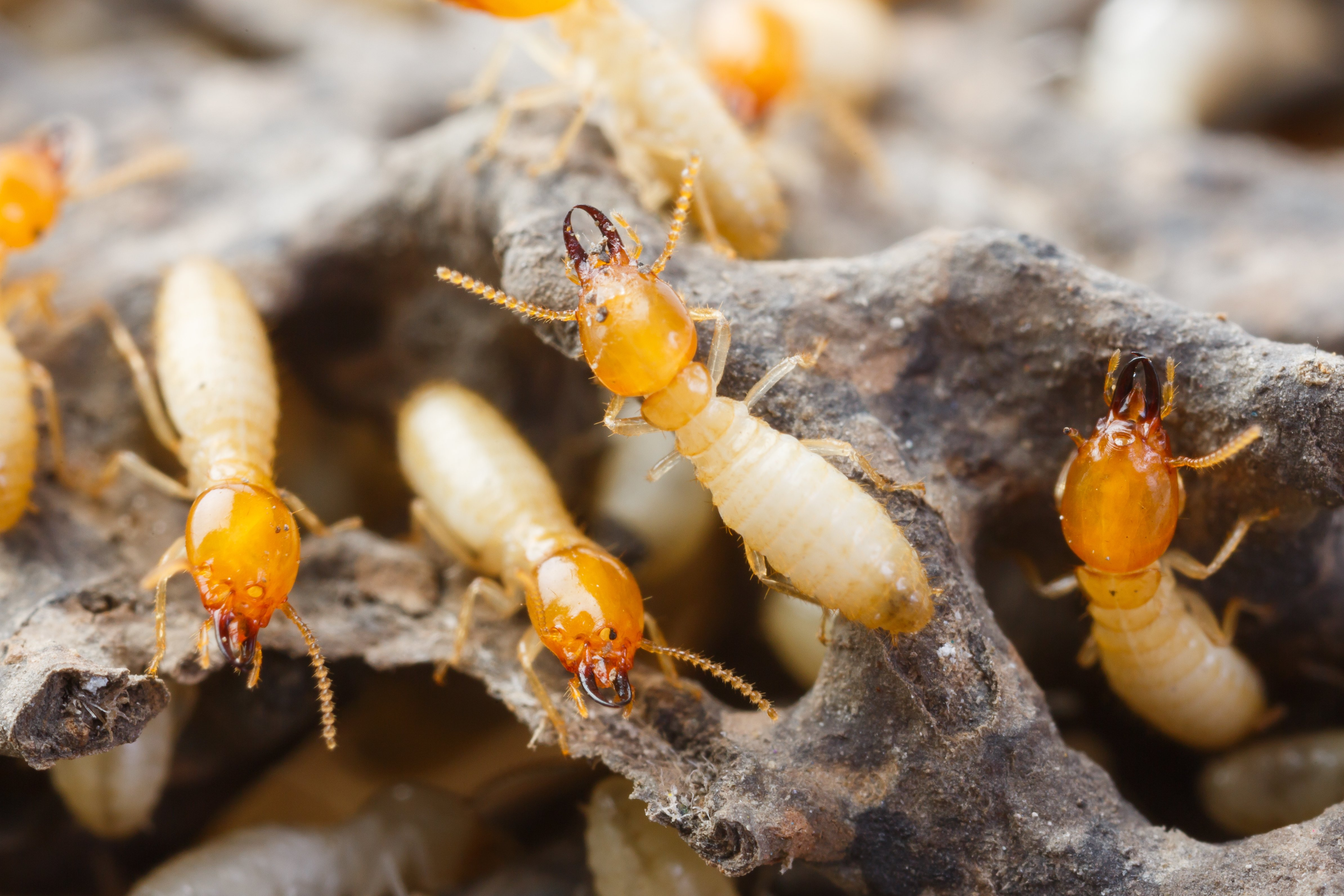 How To Spot A Drywood Termite Travis Pest Management