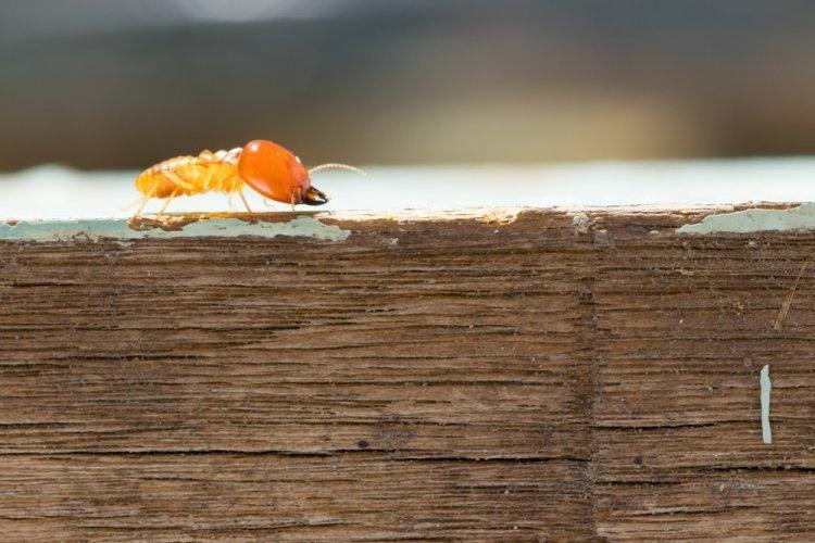 Commercial Pest Control: Termites